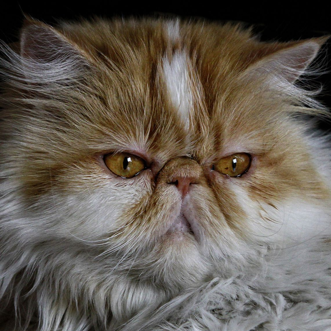 Pin By Shabnam Rezapour On Butterfly Painting In 2020 Persian Cat Doll Face Persian Cat Persian Kittens For Sale