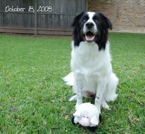 Border Collie Great Pyrenees Cross Great Pyrenees Best Dogs