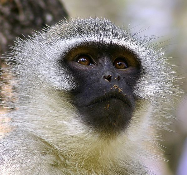 5 Amazing Animals That Start With The Letter V Vervet Monkey Animals Animals Beautiful