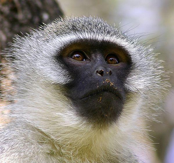 5 Amazing Animals That Start With The Letter V Vervet Monkey Animals Animals Beautiful