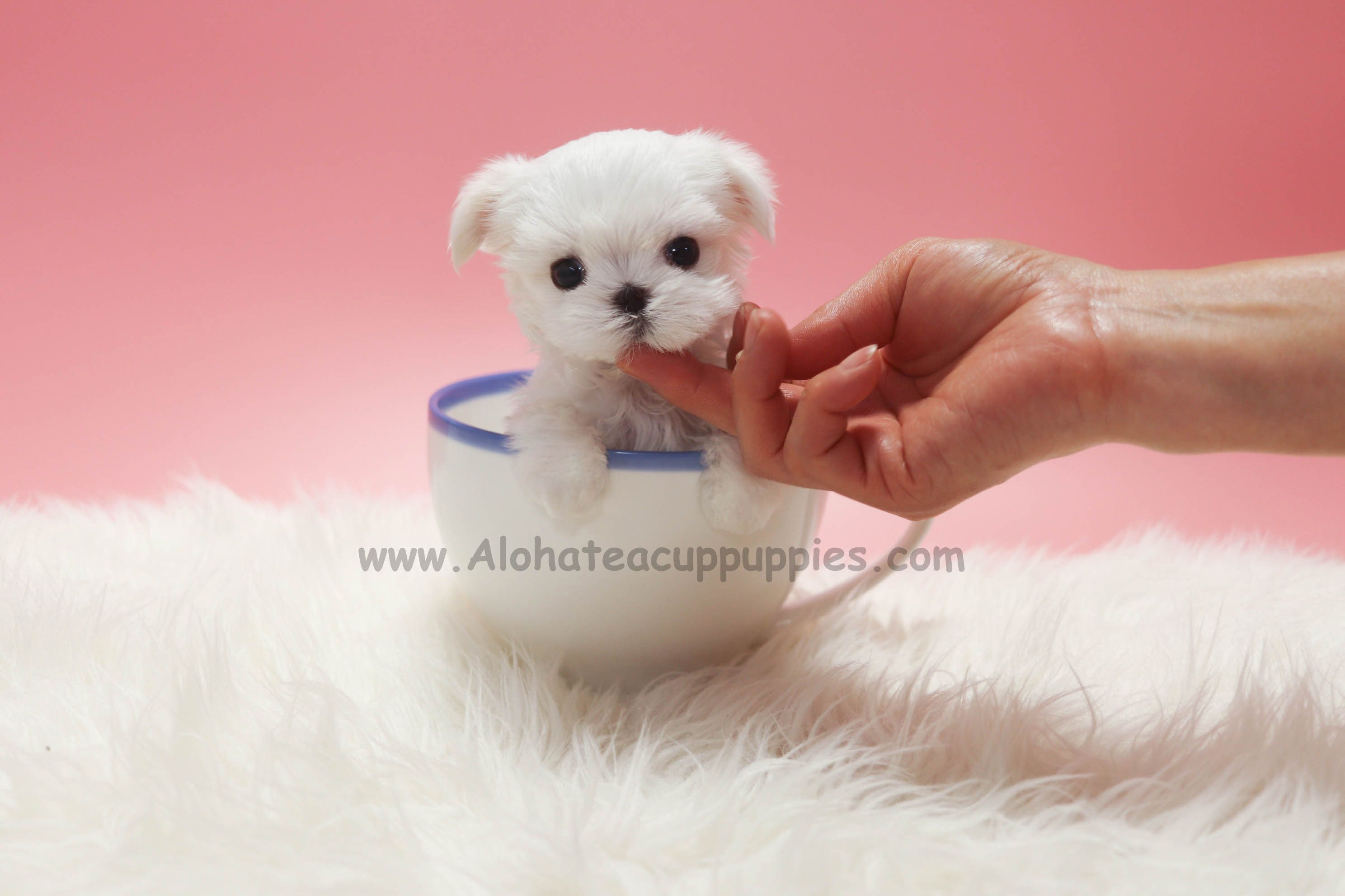 The World S Smallest Maltese Https Www Alohateacuppuppies