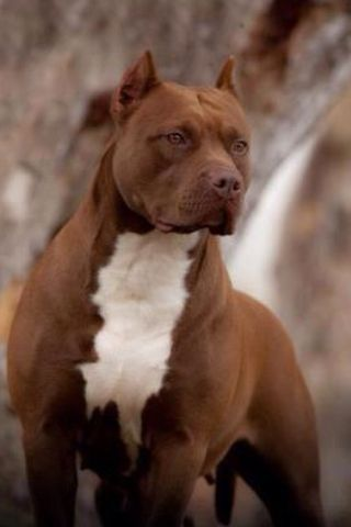 Pitbull Red Line Pitbull Terrier Gorgeous Dogs Breeds Dogs