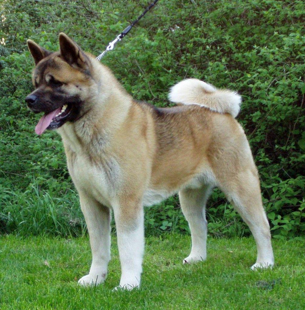 Akita Dogs American Akita Dog American Akita Dog American