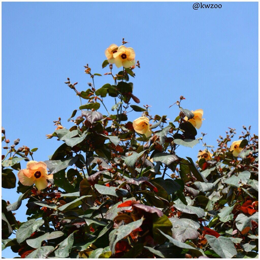 Kuwait Zoo Hibiscus flowers, Flower garden, Hibiscus