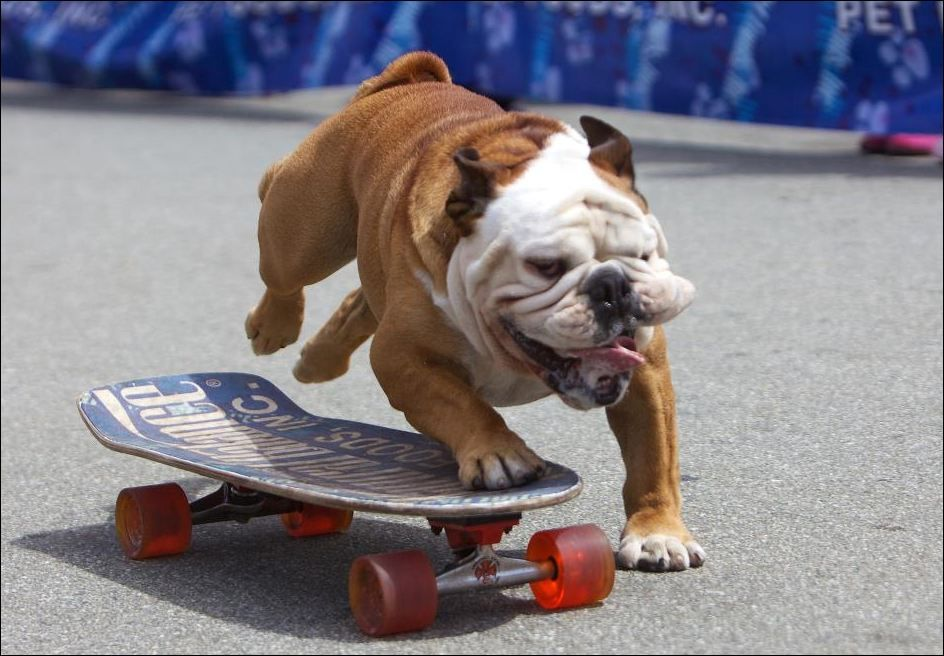 Wind Dude Bulldogs Pets Dogs Skateboarding Bullies Funny Fun Animals Bulldog English Bulldog Bulldog Pics