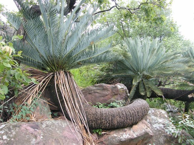 Cycad friends website lots of details on cycads and pics for Cycas landscape design