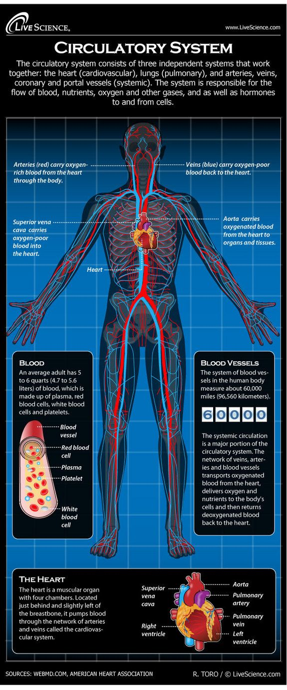 Diagram of the Human Circulatory System (Infographic) | Pinterest ...