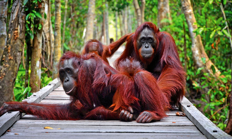 Paket Tour Explore Orangutan Taman Nasional Tanjung Puting 4 Hari 3 Bali Malam Kalimantan Tengah