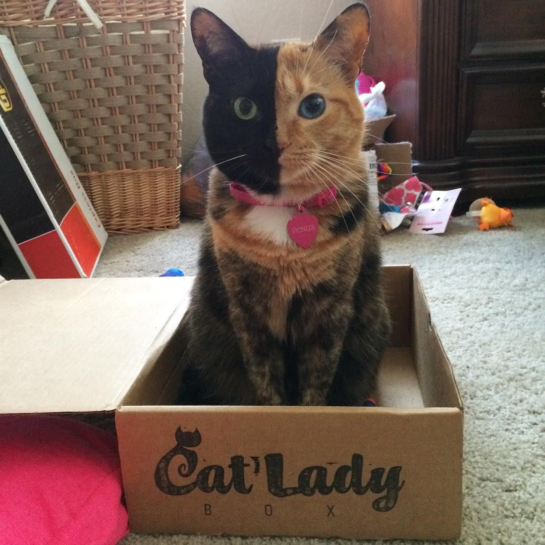 Venus The TwoFaced Cat Looooooves Her Moms CatLadyBox And We - Venus two faced cat
