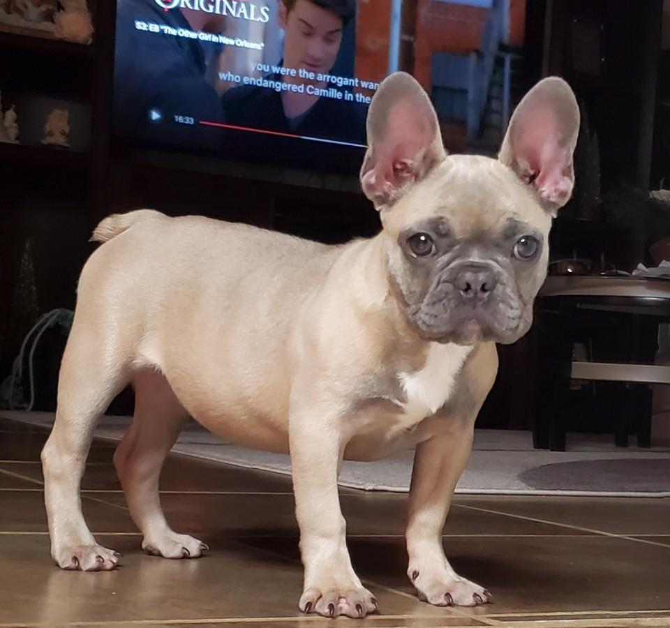 Wrinkles CuteNCuddly MansBestFriend PuppyLove
