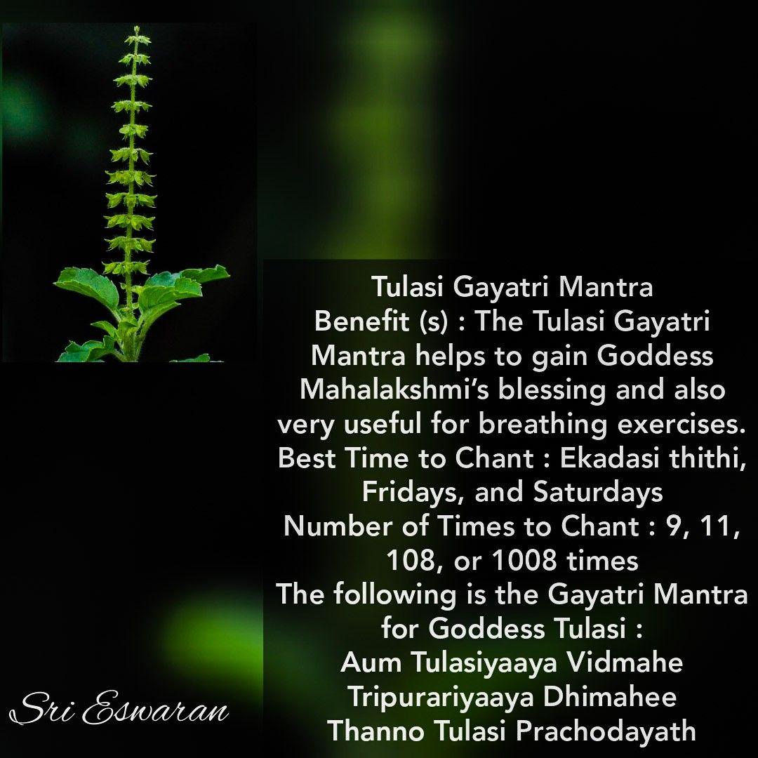 Tulasi Gayatri Mantra Benefit (s) : The Tulasi Gayatri