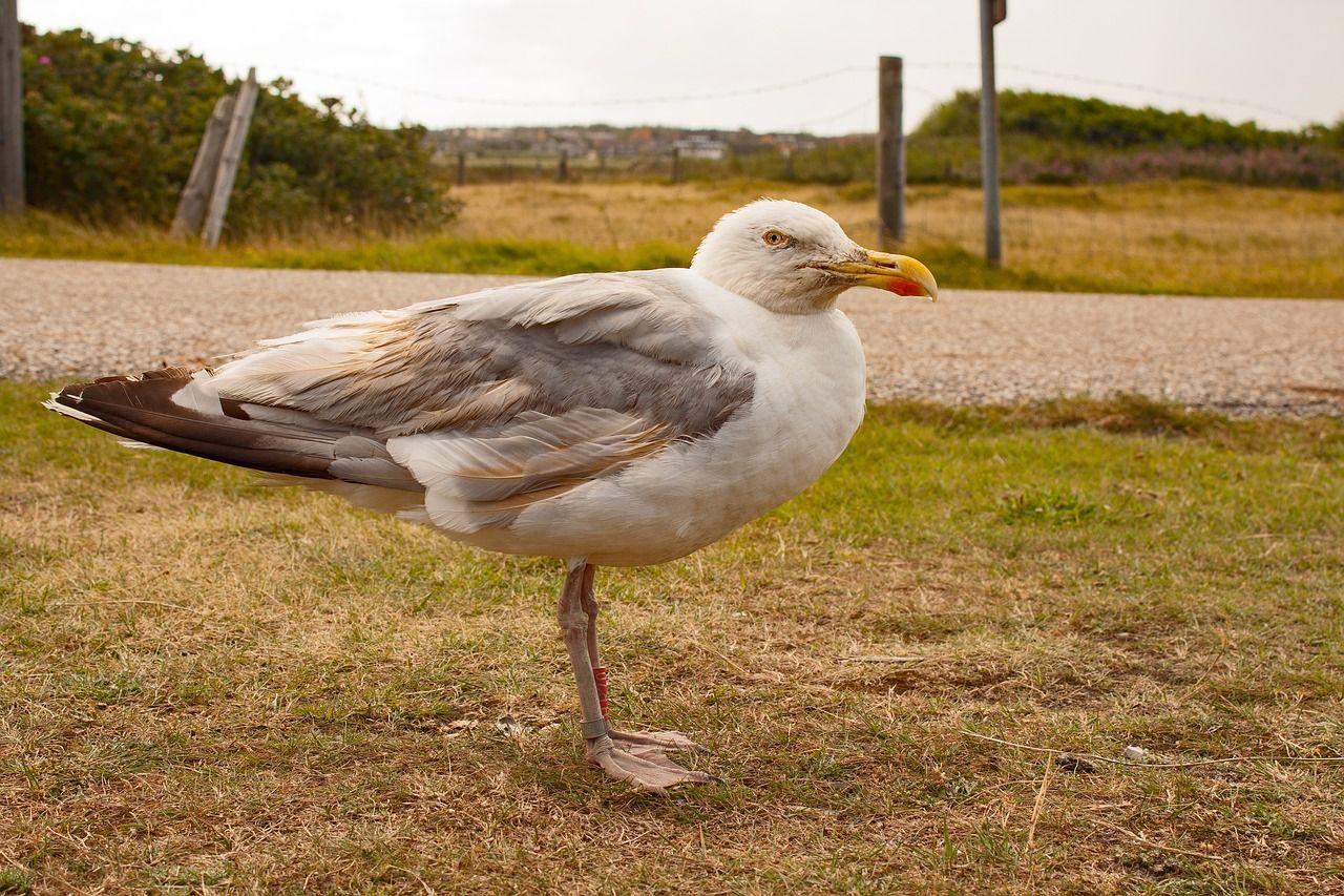 Island Seagull Island Bird North Sea Amrum Island Seagull