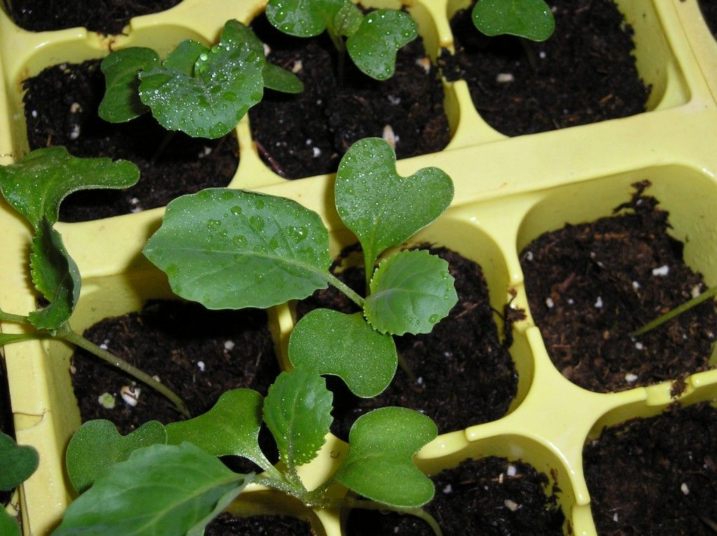 How to care for cabbage and broccoli seedlings growing