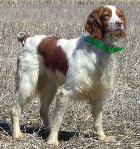 Brittany Hunting Dog For Sale Bird Hunting Dogs For Sale