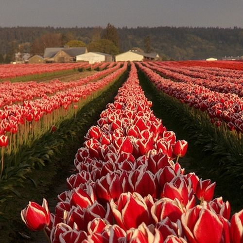 You don't need to go to Holland for tulips, just drive to Skagit Valley if you live in Seattle.