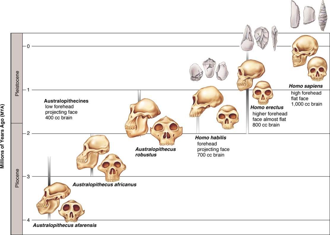 Arbol Genealogico Hominidos Buscar Con Google Human Evolution Evolution Human Evolution Tree