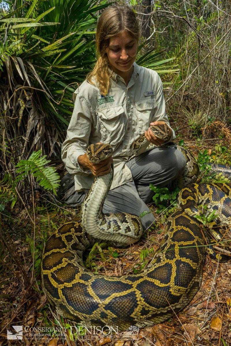 Burmese Python Hunt In South Florida Cool Animals