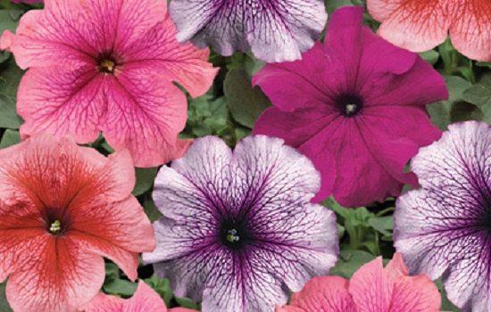 25 Pelleted Seeds Ramblin Neon Rose Petunia Seeds Trailing Petunia