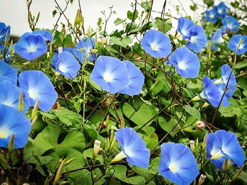 Morning Glory Seeds Clarks Heavenly Blue 50 Ipomoea Seeds Morning Glory Seeds Blue Morning Glory Morning Glory