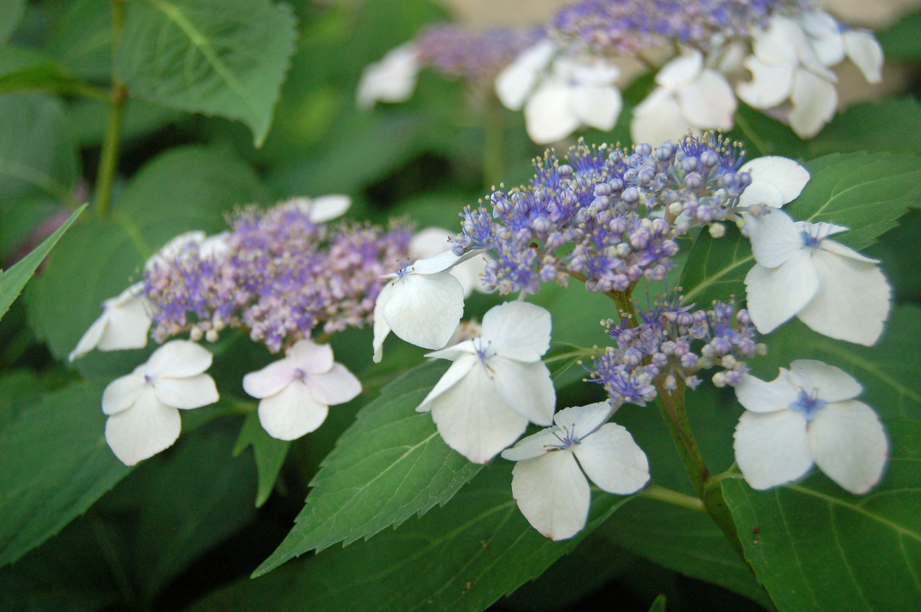 Hydrangea Serrata Cultivars Lacecaps That Actually Bloom In Zone 5 Growing Hydrangeas Planting Hydrangeas Hydrangea Serrata