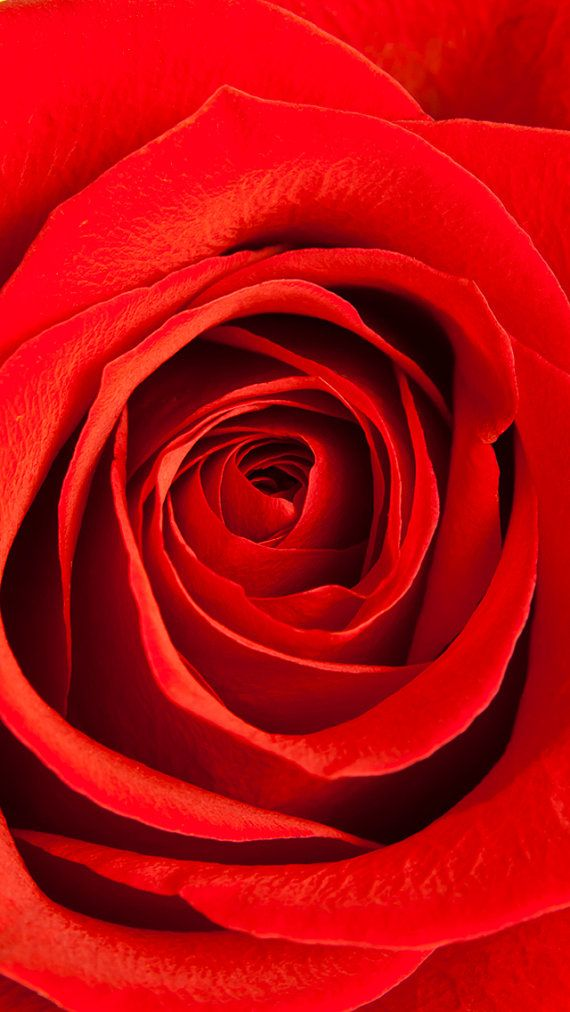 Flower Red Rose IPhone5 Wallpaper
