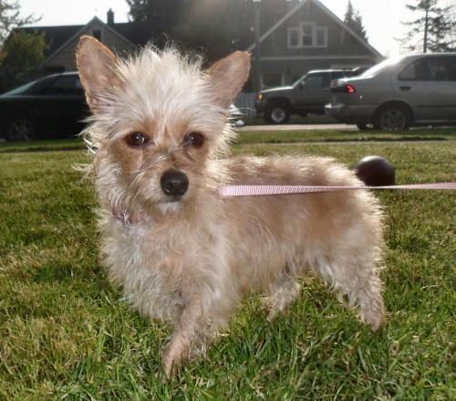 Meet Juliet An Adoptable Yorkshire Terrier Yorkie Dog Tacoma