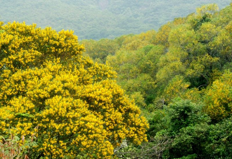 Acacia Confusa Google Search Invasive Species Nature Natural Landmarks