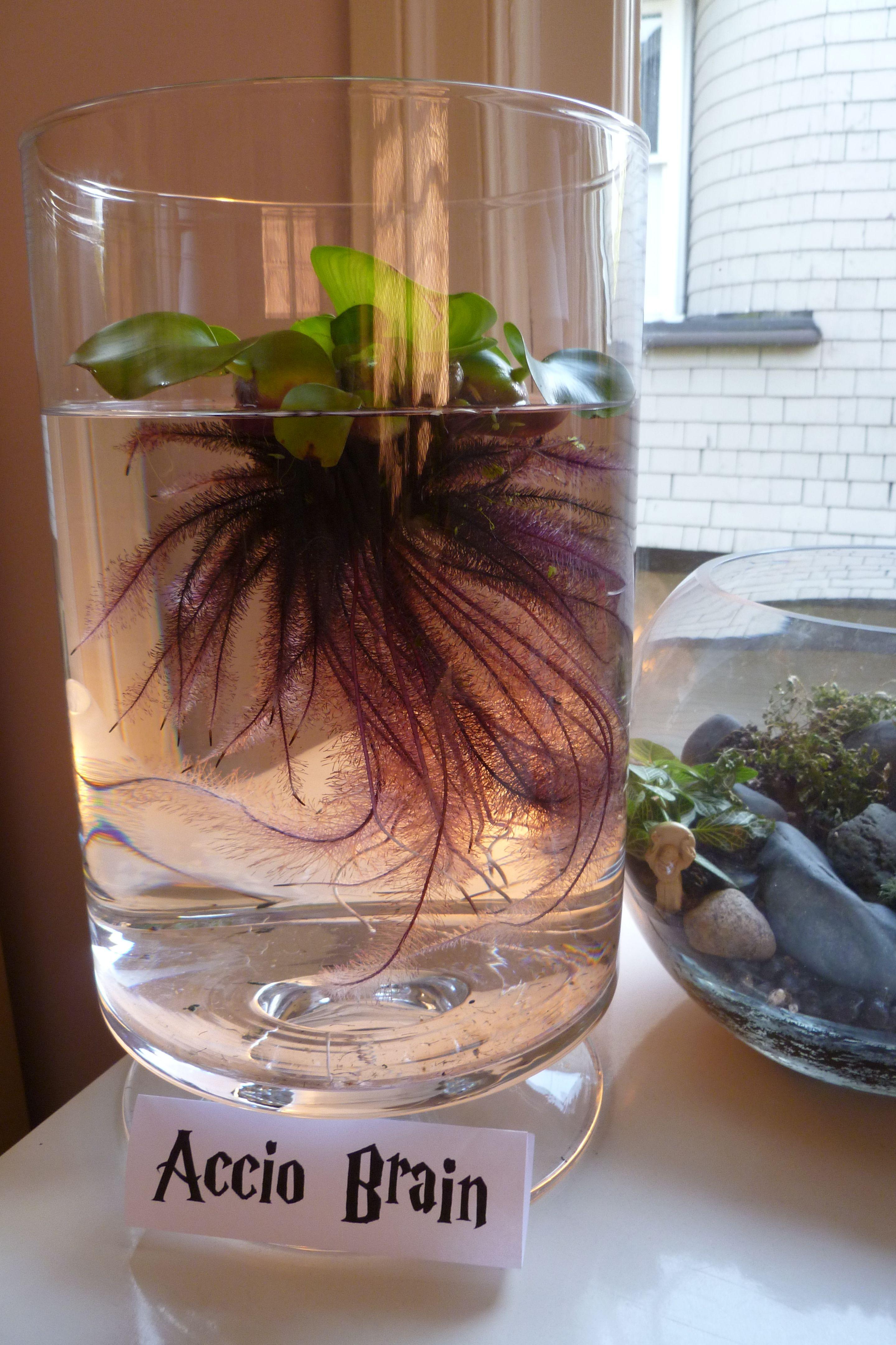 Indoor Water Garden Ideas Part - 48: Indoor Water Garden - Water Hyacinth. Weu0027ll See How Well It Does.