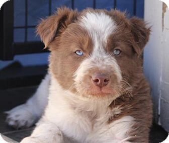 Littleton Co Australian Shepherd Border Collie Mix Meet