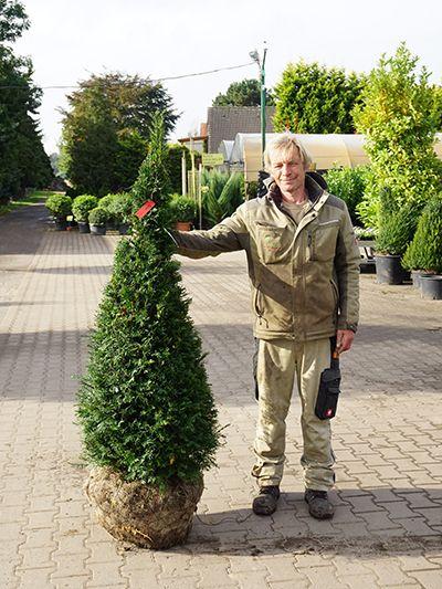 Garten Janssen heimische eibe kegel pflanzen janssen gmbh garten