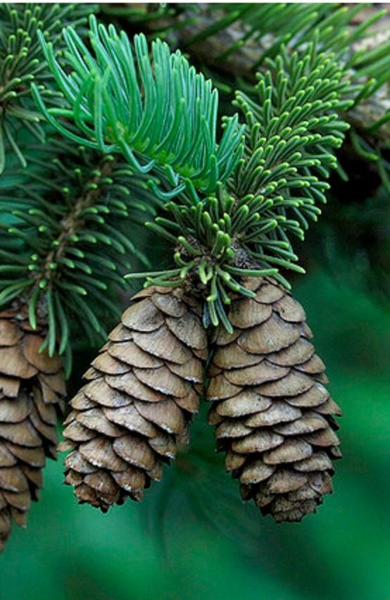 Pinecones (fir or spruce?)