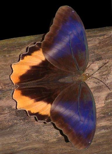 Pin Von Roswitha Knoblauch Auf Spinnen Insekten Krabbeltiere Schmetterlinge Schlangen Schmetterling Schone Schmetterlinge Spinnen Insekten