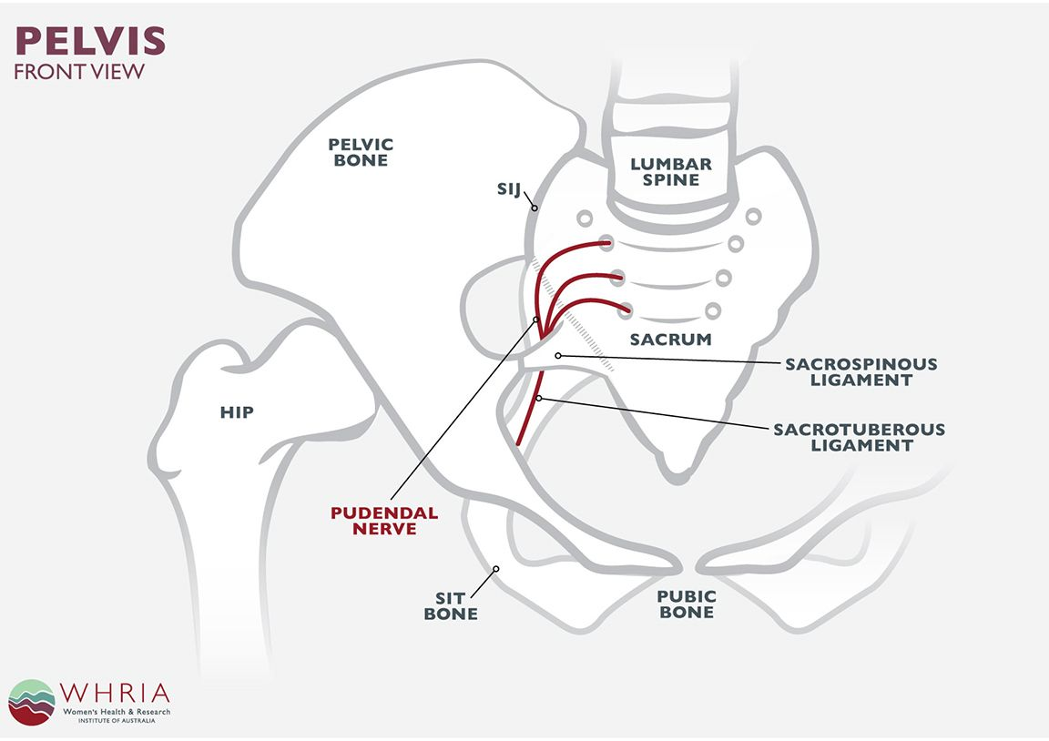 pudendal nerve treatment symptoms the pudendal nerve runs from your lower back along your pelvic floor muscles out to your perineum the skin between  [ 1152 x 814 Pixel ]