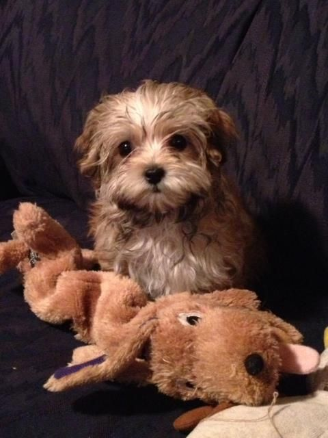 """Happy Tail... """"Cora"""" a YorkiePoo puppy went to her new"""
