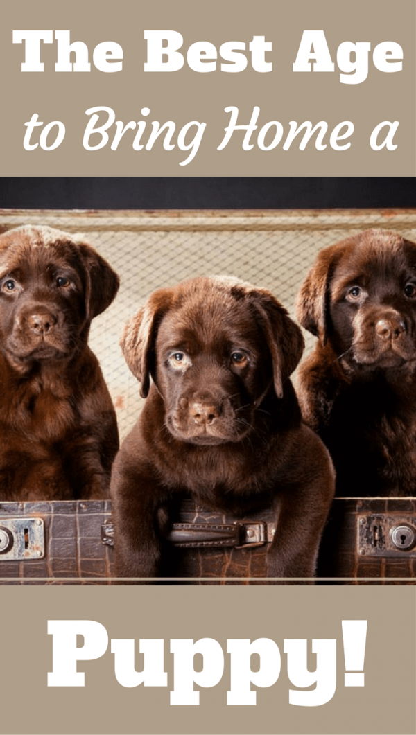 What S The Best Age To Bring A Labrador Puppy Home Labrador Puppy Puppies Labrador