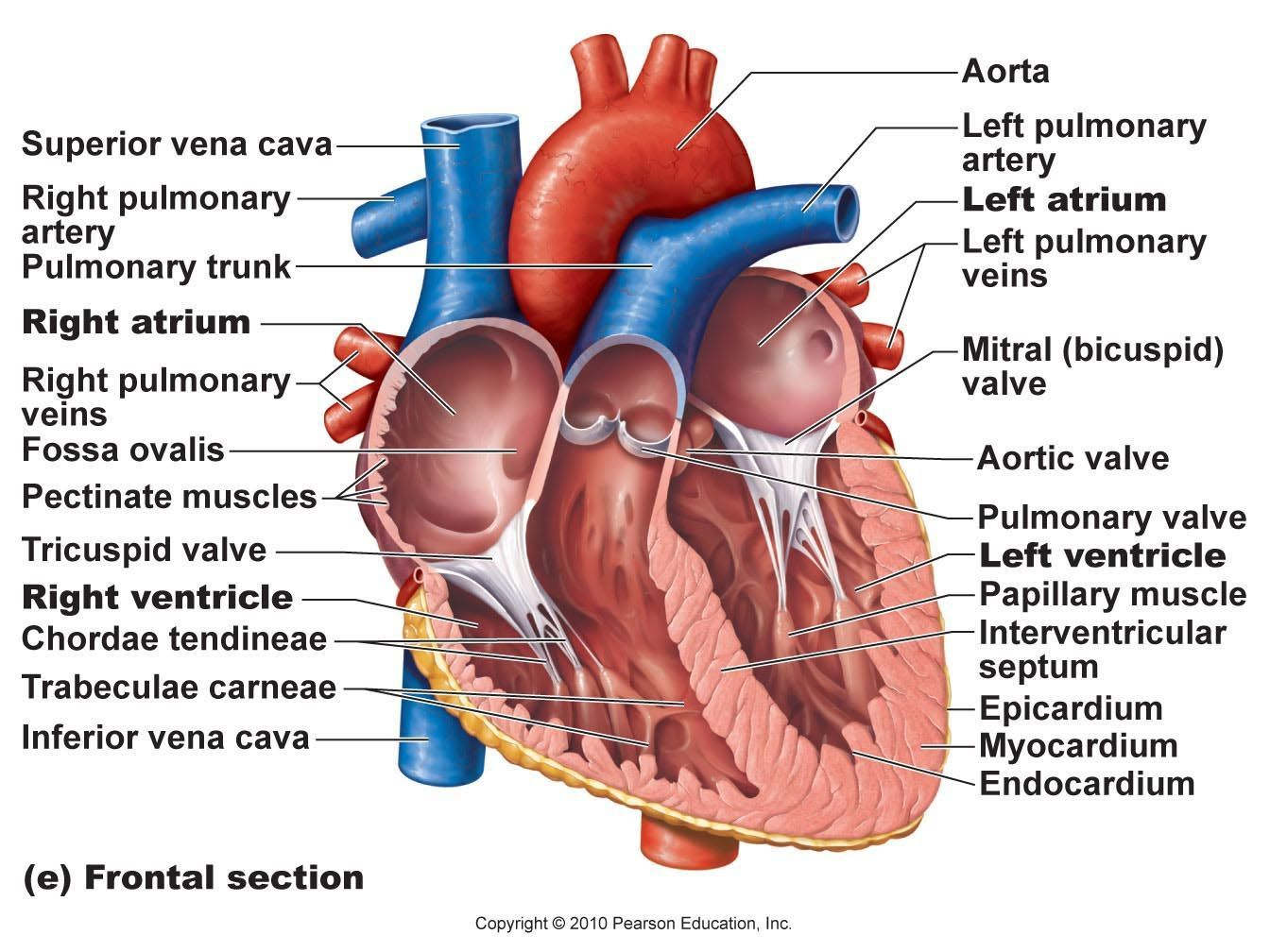 Cardiac Muscle Labeled Diagram Lucas 3 Wire Alternator Wiring Human Anatomy Drawing Pinterest Heart Pictures With Parts Google Search