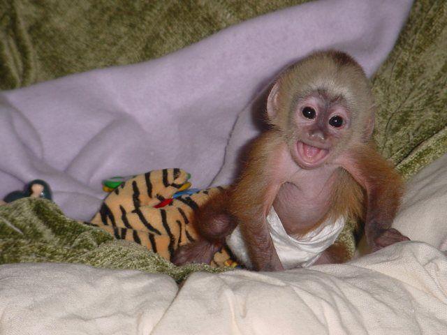 Baby Capuchin Pet Monkey Cute Baby Monkey Capuchin Monkey