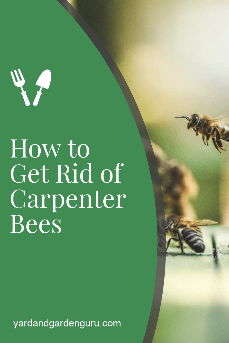 Getting Rid Of Carpenter Bees The Right Way Carpenter Bee How To Get Rid Bee Spray