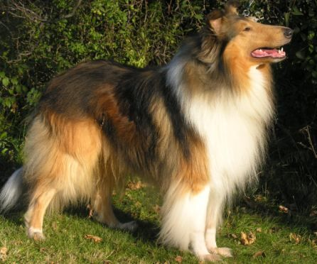 Harmonic Collies Rough Collies Rough Collie Breeder Canada