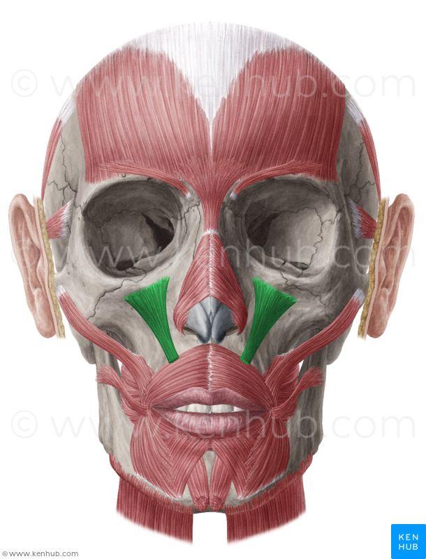 Levator labii superioris: inferior orbital margin of maxilla. In ...