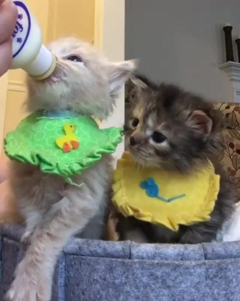 [Enjoy] Here is a kitten in a bib drinking a bottle