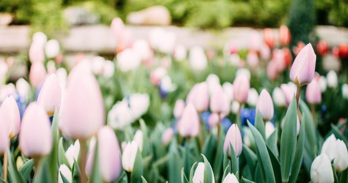 Spring is arriving soon and we can see the #tulips about ...