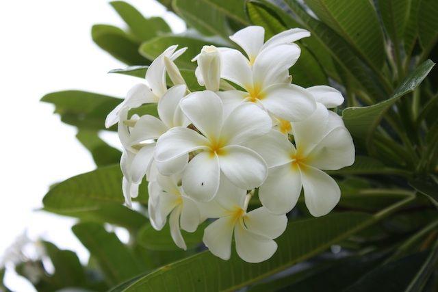 Sweet frangrance of plumaria fills the air in Maui.