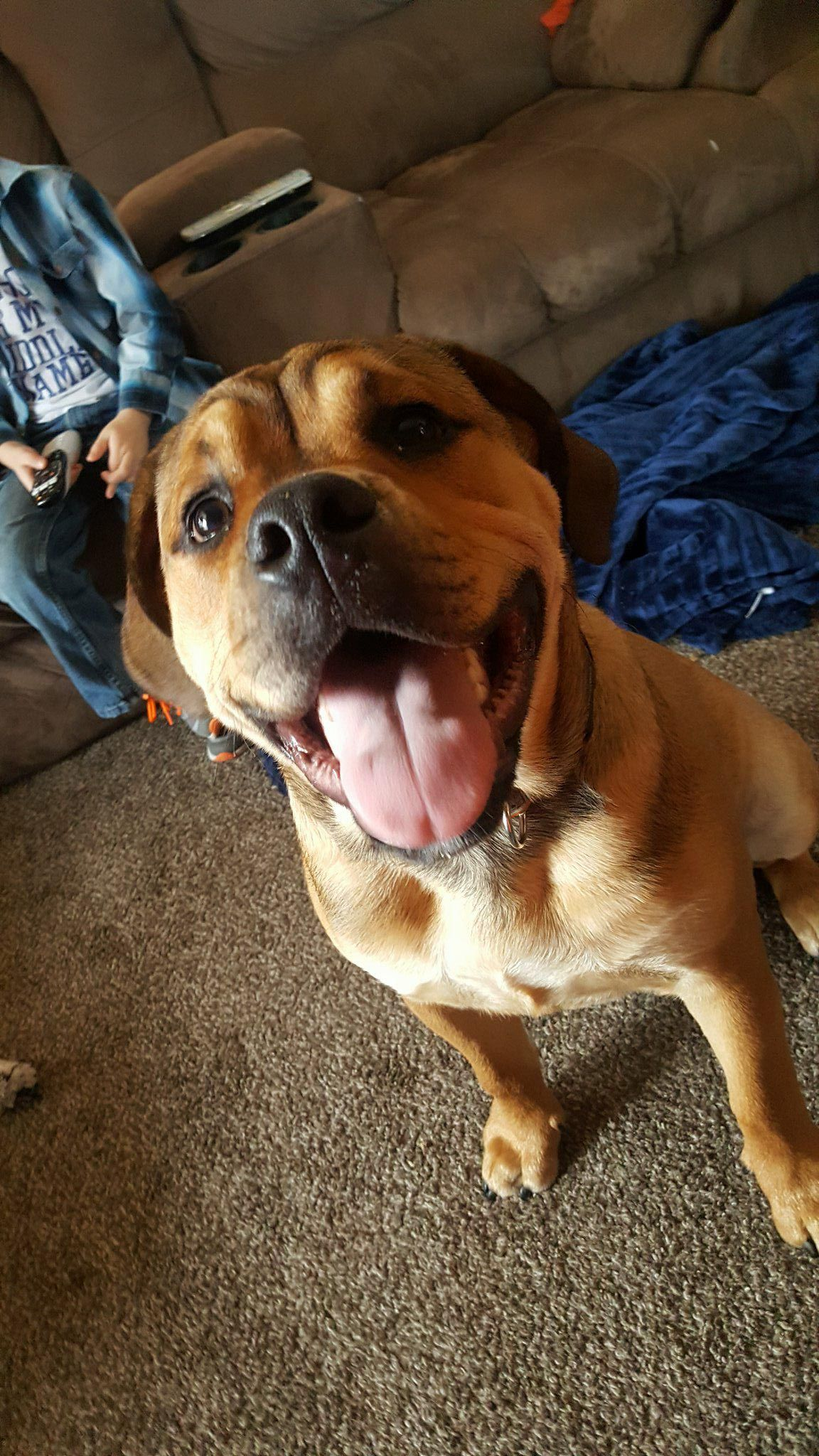 English Bullweiler Dog For Adoption In Iroquois Il Adn 783077 On