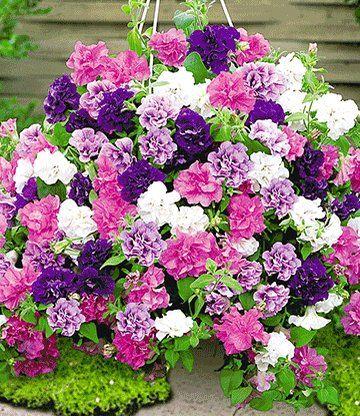 Hange Petunie Viva Prachtmix 1a Pflanzen Petunien Blumen Im