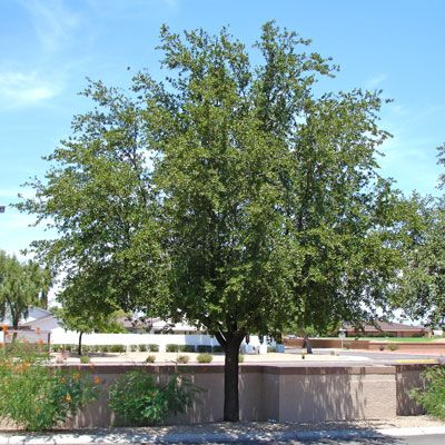 Southern Live Oak Tree For Evergreen Trees Moon Valley Nursery Phoenix Arizona We Had This Planted In Our Yard When The House On Georgia
