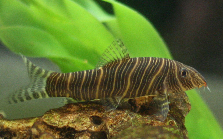 Zebra Loach Botia Striata Aquarium Fish Freshwater Fish Freshwater Aquarium