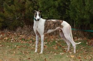 Adopt Grey Hound Dog Greyhound Racing Dogs