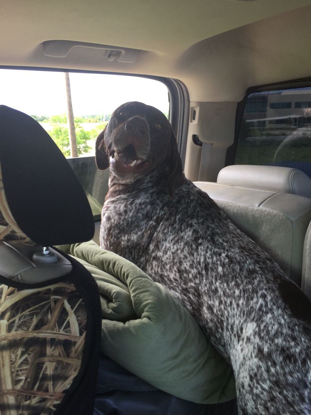 German shorthair pointer ridin dog with images gsp