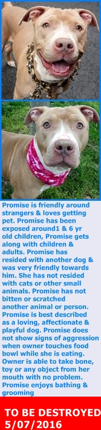 KILLED 5/7/16 --- Manhattan Center – P  My name is PROMISE. My Animal ID # is A1071856. I am a female tan and white am pit bull ter mix. The shelter thinks I am about 2 YEARS old.  I came in the shelter as a OWNER SUR on 04/28/2016 from NY 10034, owner surrender reason stated was MOVE2PRIVA. http://nycdogs.urgentpodr.org/promise-a1071856/